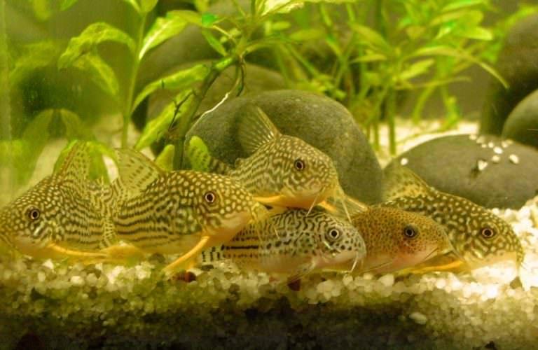 Сомики аквариумные небольшие