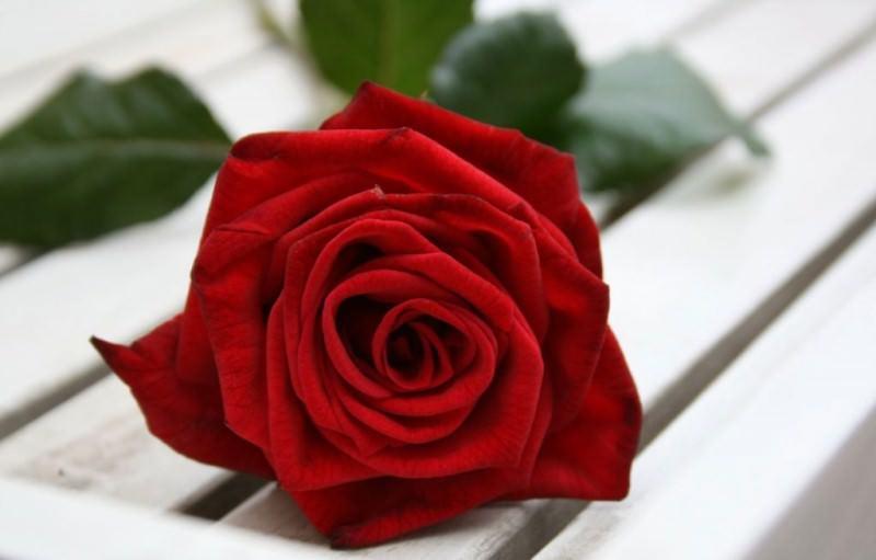 Цветы сон розы