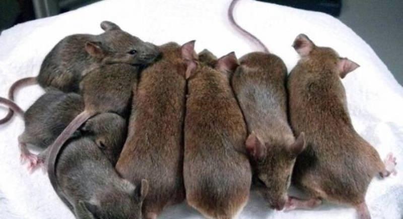 К чему снится стая крыс