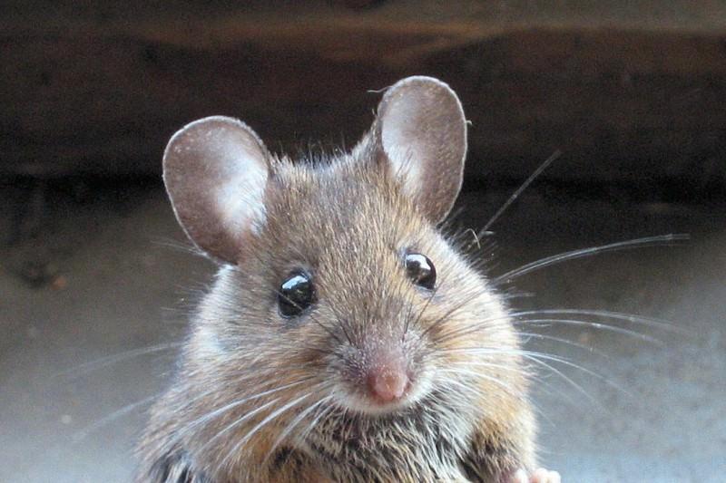 Приснились мыши маленькие серые много сонник