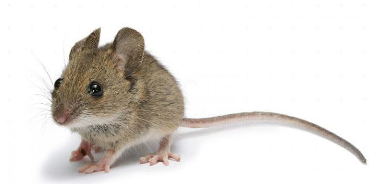 снится мышь к чему это Постельное белье бязи