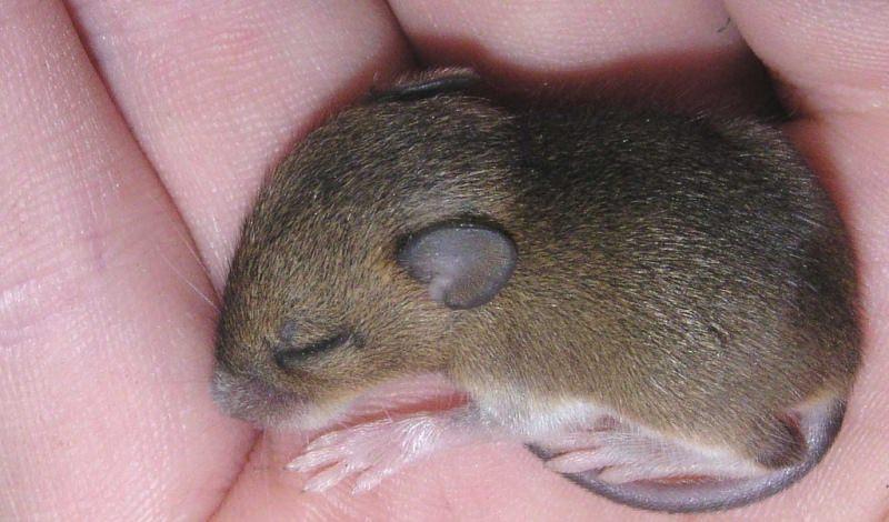 к чему снятся маленькие серые мыши