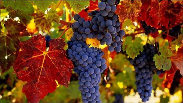 Виноград в соннике: добрый знак или предостережение?