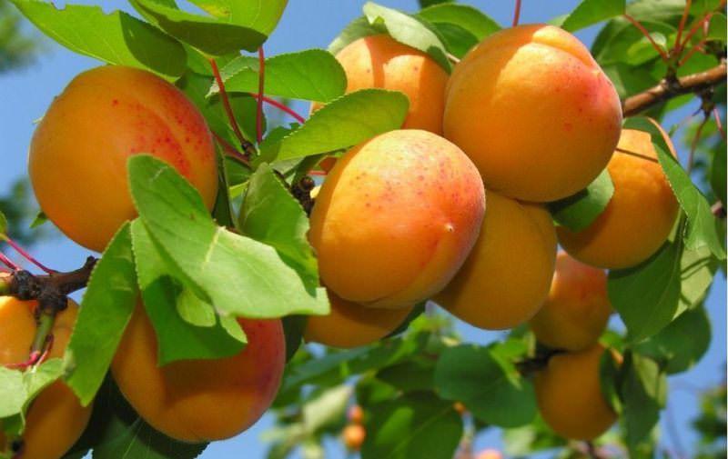 К чему мужчинам и женщинам снятся абрикосы?