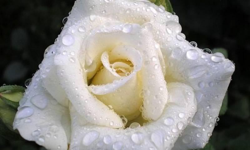 открытки розы белые в капельках массированные авиационные