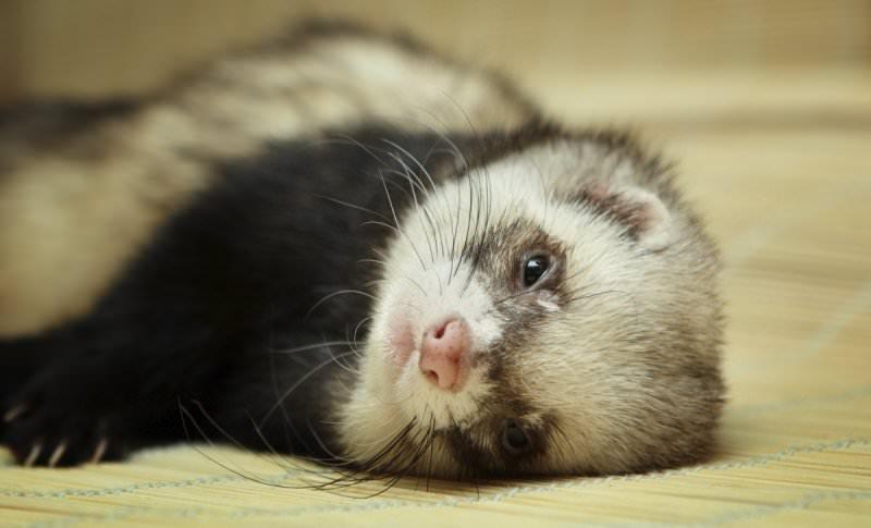 Сновидения с животными: к чему снится хорек?