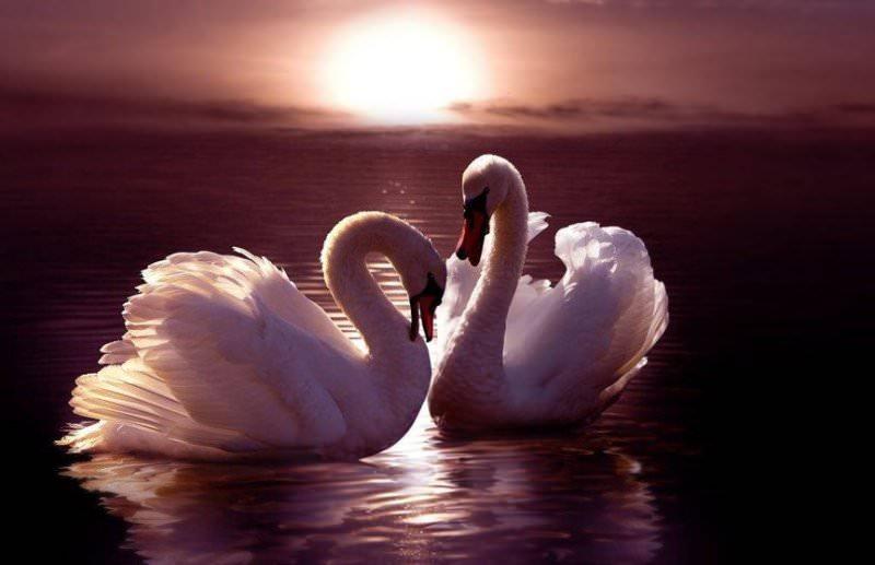 К чему снятся белые и черные лебеди