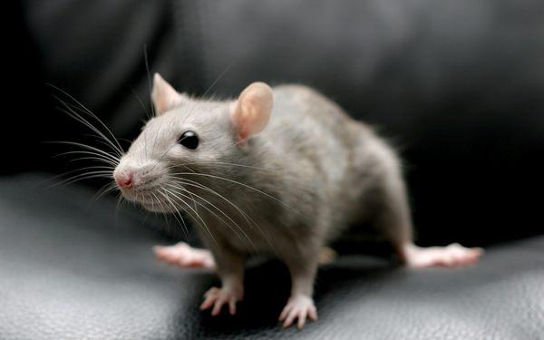 К чему снятся мыши и стоит ли поднимать визг?