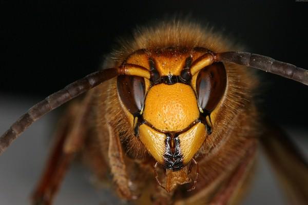 К чему снятся осы: нужно ли остерегаться нападения?