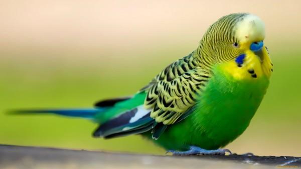 к чему снится попугай женщине