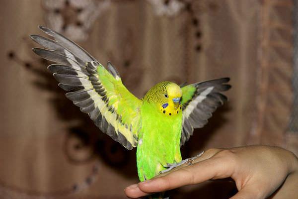 К чему снится попугай волнистый в клетке