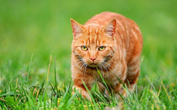 К чему снится рыжий кот: замурчит ли жизнь?