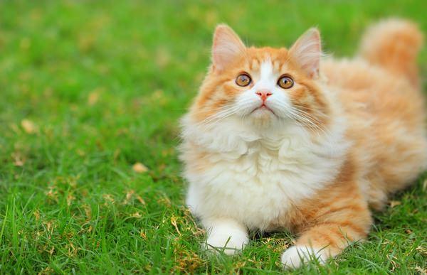 Если сниться во сне рыжий кот