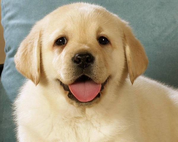 сонник купить собаку щенок