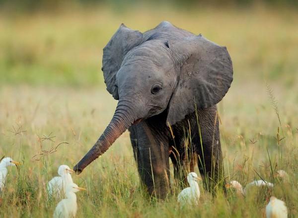 К чему снится слон: все доступные значения
