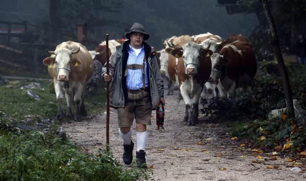 К чему снится стадо коров: значения и предзнаменования