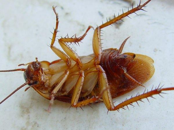 К чему снятся тараканы и не стоит ли наяву запастись отравой?