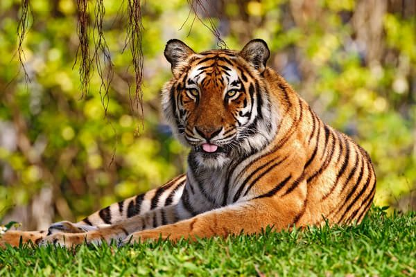 К чему снится тигр: опасность или добрый знак?