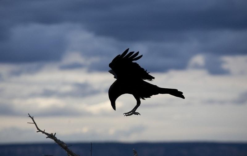 К чему может сниться черный ворон