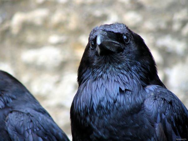 К чему снится ворона: самые разнообразные толкования
