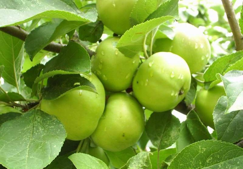 Зачем и к чему снятся зеленые яблоки?