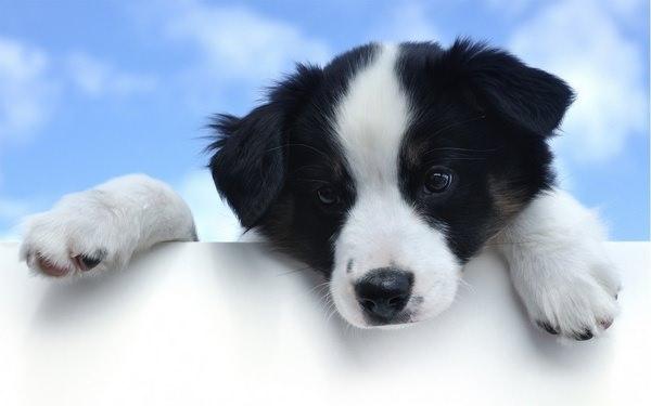 Фото Сонник черно белая собака
