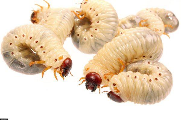 К чему снятся белые черви: толкования противного сна