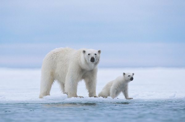 Белый медведь сонник женщине фото