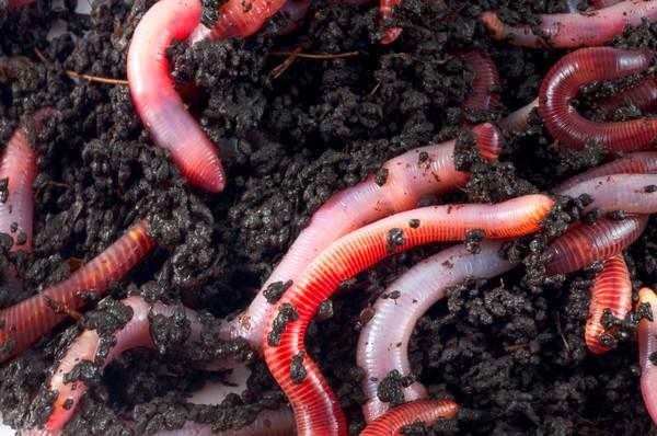 К чему снятся дождевые черви и какие изменения в жизни они сулят