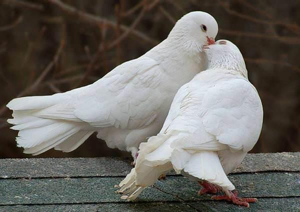 к чему снятся голуби