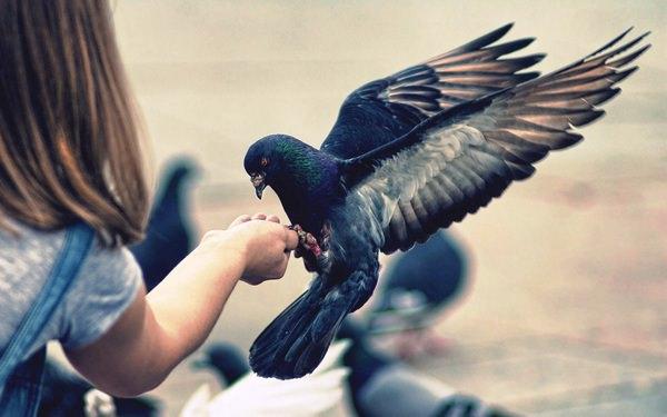 К чему снятся голуби: значения в сонниках