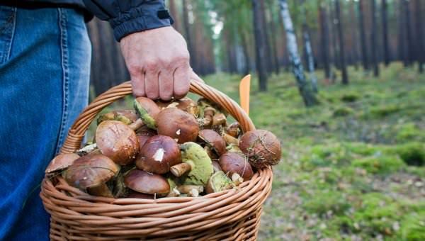 К чему снятся грибы: хочется тихой охоты?