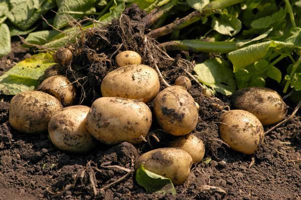 К чему снится картошка: хочется плотно покушать?