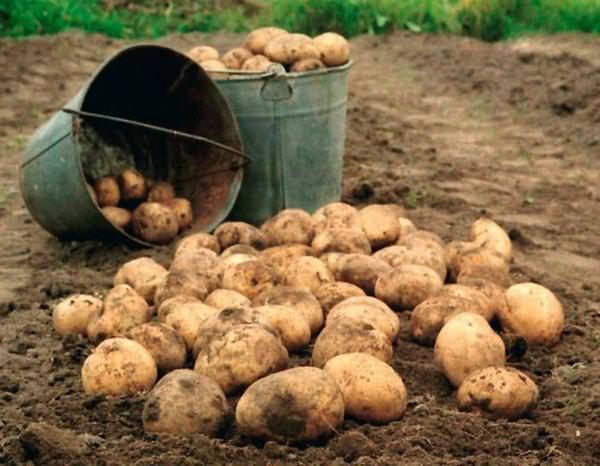 Сажать картошку сне