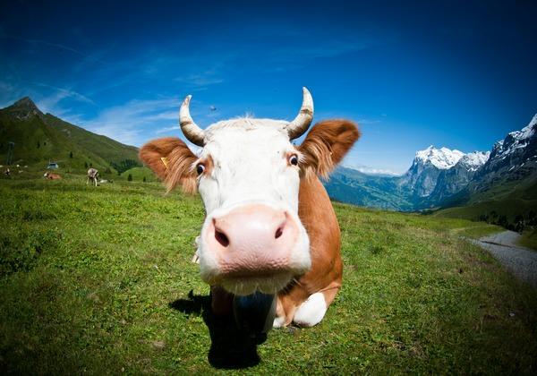 К чему снится корова: самое подробное толкование
