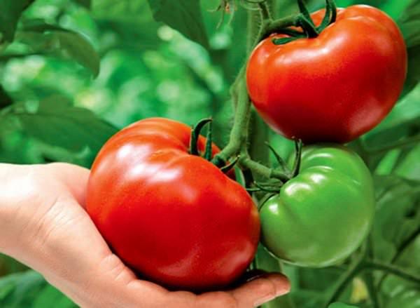 К чему снятся красные помидоры: кто-то соскучился по летним салатам?