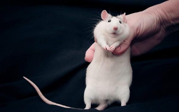 К чему снится крыса: тревожный знак или грядущее счастье?