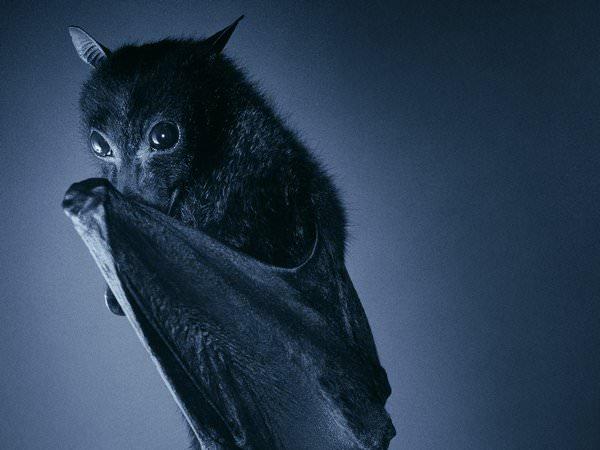 К чему снится летучая мышь: бояться или радоваться?