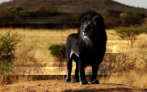 К чему снится лев: толкования в сонниках