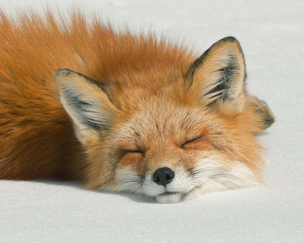 Е чему снится лиса