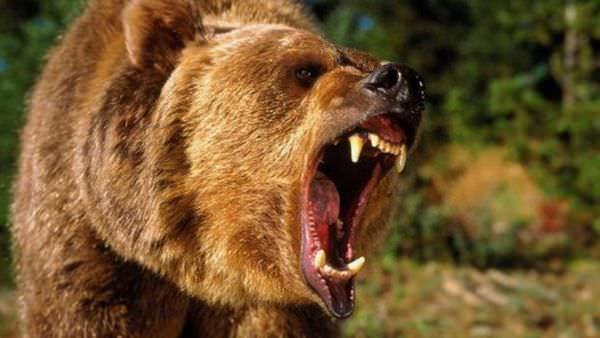 К чему снится медведь: добрый или плохой знак?
