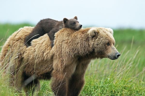 К чему снится медвежонок: стоит умиляться или бояться?
