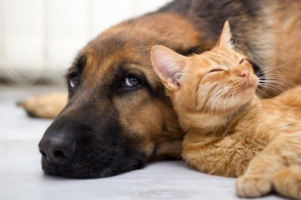 К чему снится кот и собаки вместе