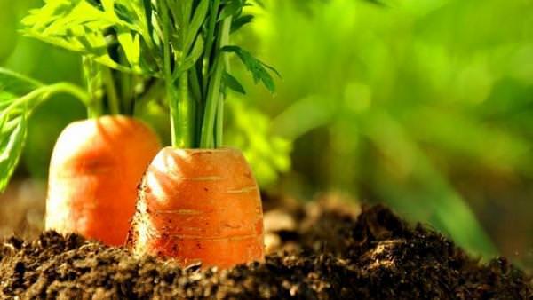 К чему снится морковь: не хватает витамина А?