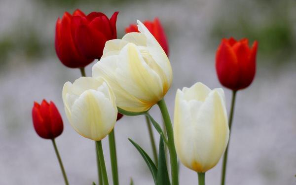 К чему снятся тюльпаны: хочется весны?