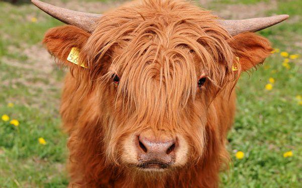 К чему снится бык женщине: с рогами, нападает, видеть, сонник, разъяренный, который, черный, бодает