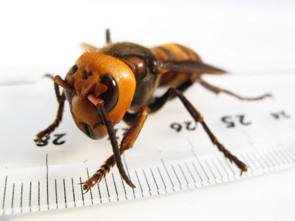 К чему снятся пчелы: подробное толкование