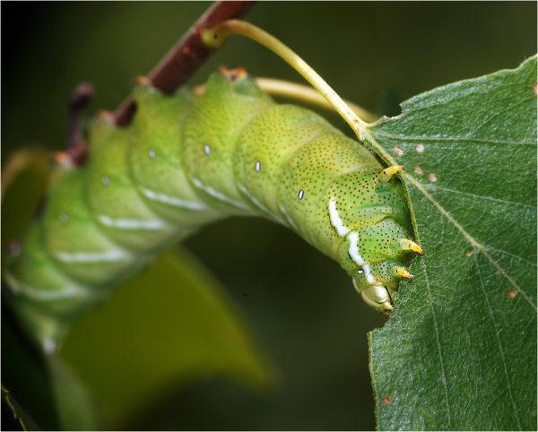 К чему снятся гусеницы во сне?